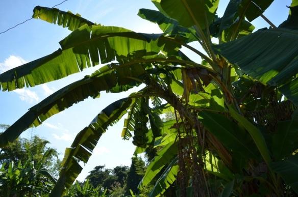 Les bananes dans l'arbre ne sont pas mûres.
