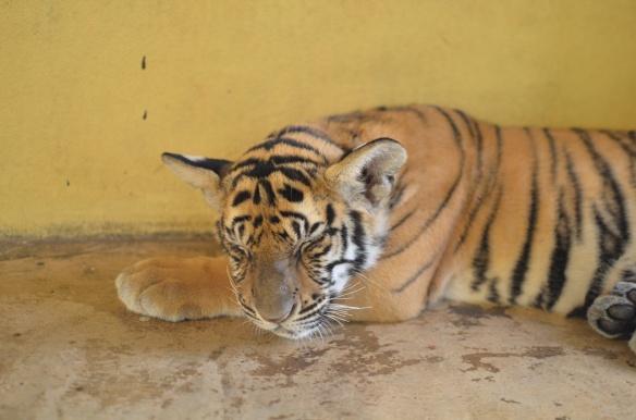 Bébé tigre de 4 mois