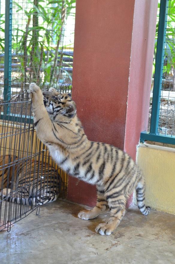 Tigre qui fait son yoga