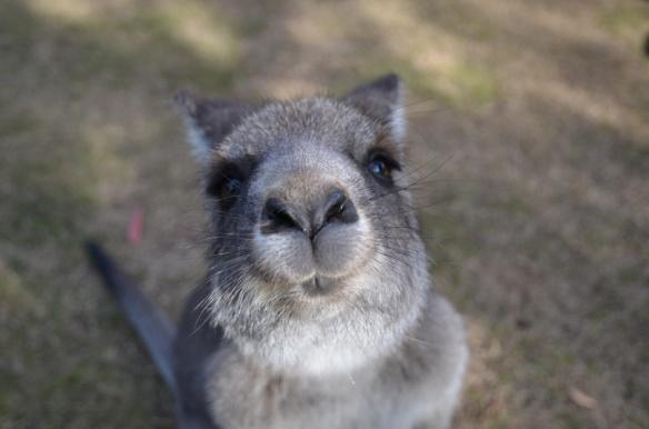 Un bisou de kangourou!